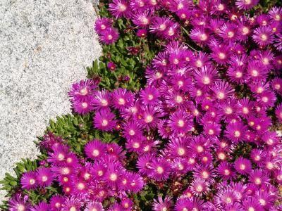 Delosperma john proffitt 1 dan johnson in the better plants for delosperma john proffitt 1 dan johnson in the better plants for better mightylinksfo