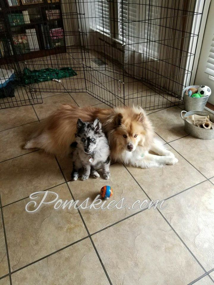 Pomsky Puppies For Sale In California Pomsky puppy for