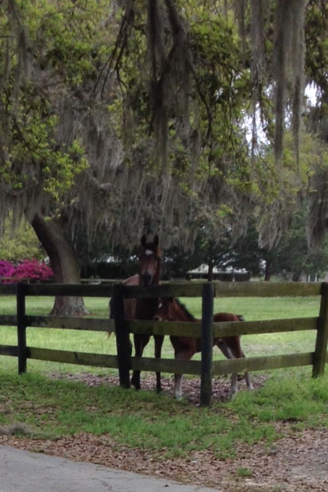 Zamira Arabians Ocala Fl Farm Photo Horses Vet Clinics