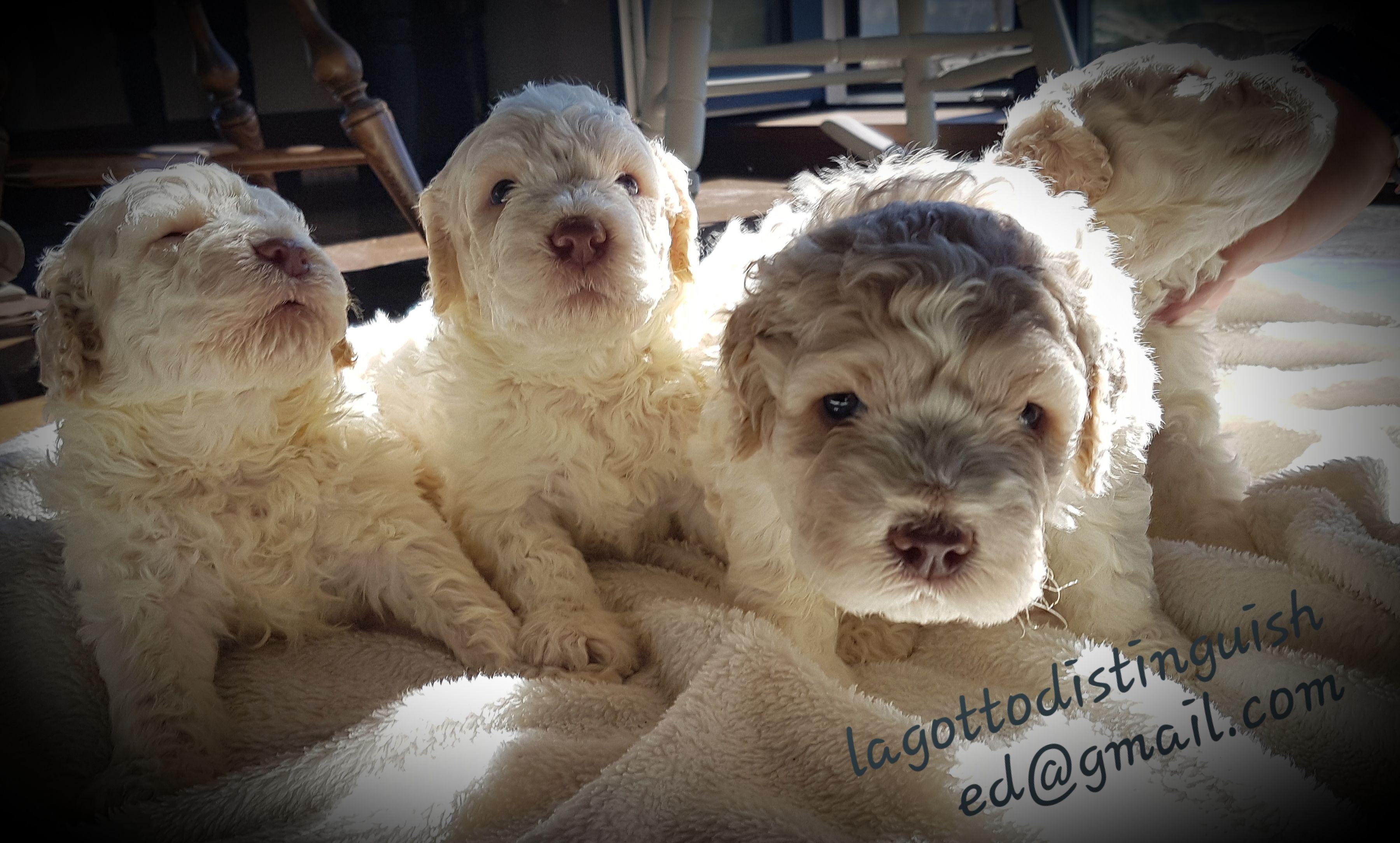 Your Lagotto Puppy Puppies Lagotto Romagnolo Rare Breed