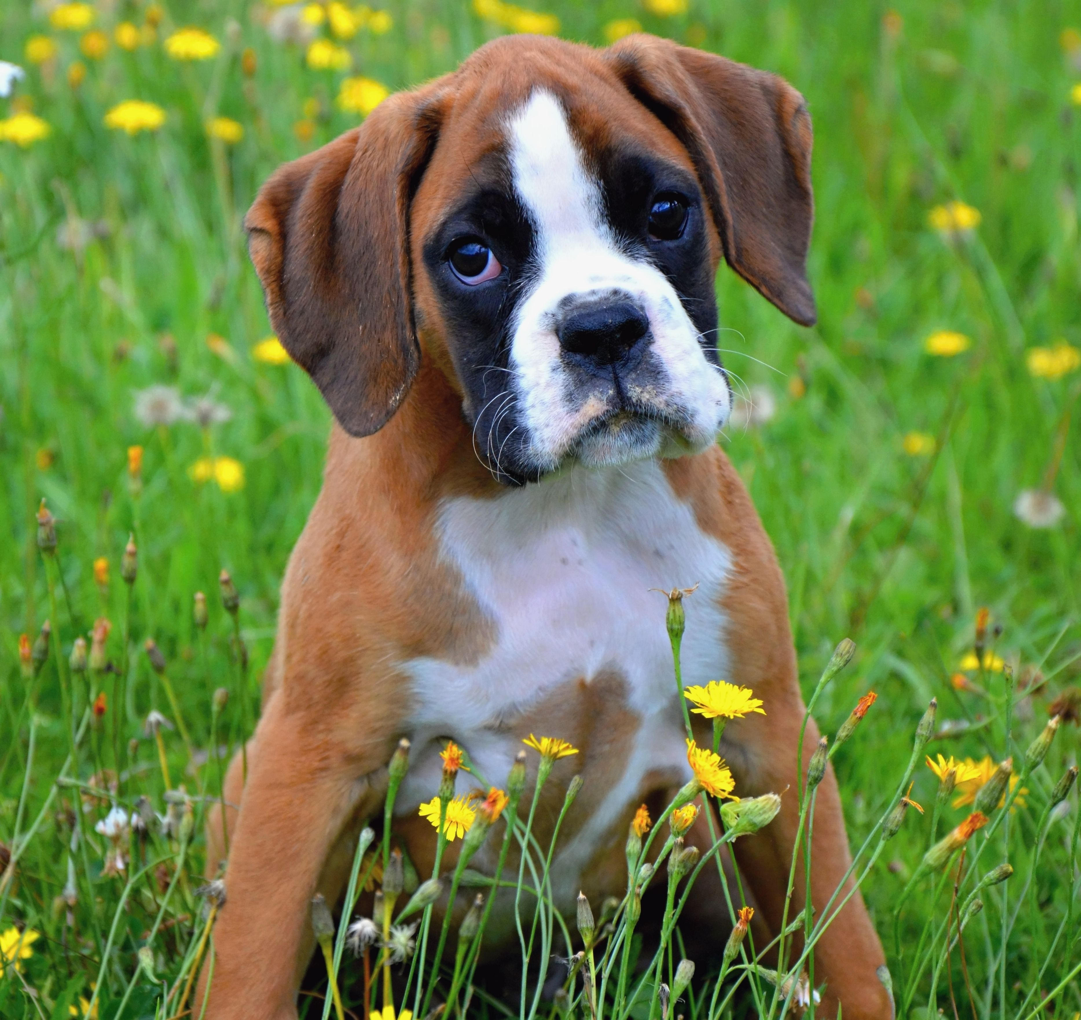 Show and Pet Quality AKC European Boxer