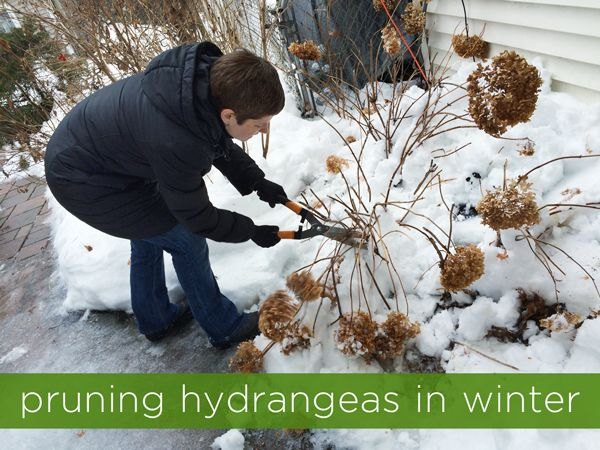 Pruning Hydrangeas In Winter Rather Square Pruning Hydrangeas Trimming Hydrangeas Hydrangea