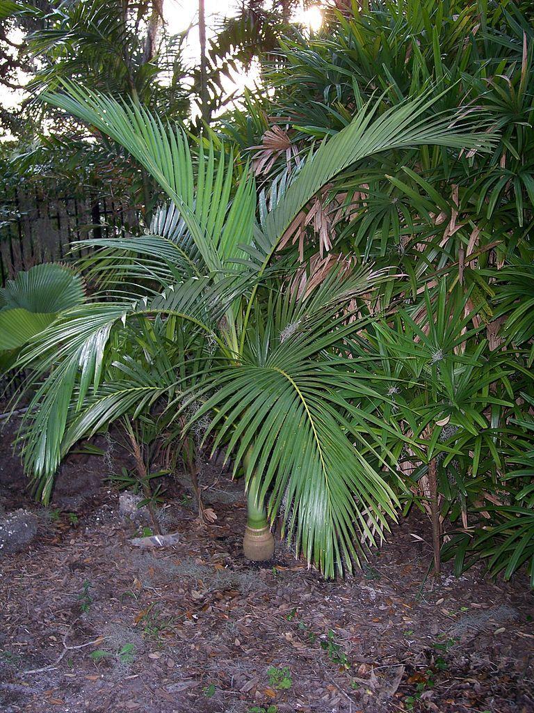 Young Alexander Palm Archontophoenix Alexandrae Plants Home