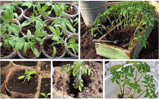 можно полить рассаду помидор дрожжевым раствором