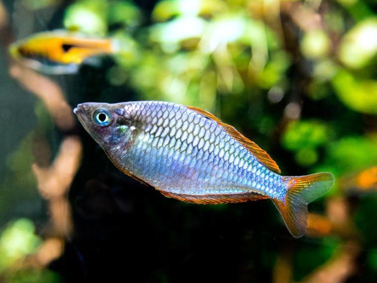 Dwarf Rainbow Fish
