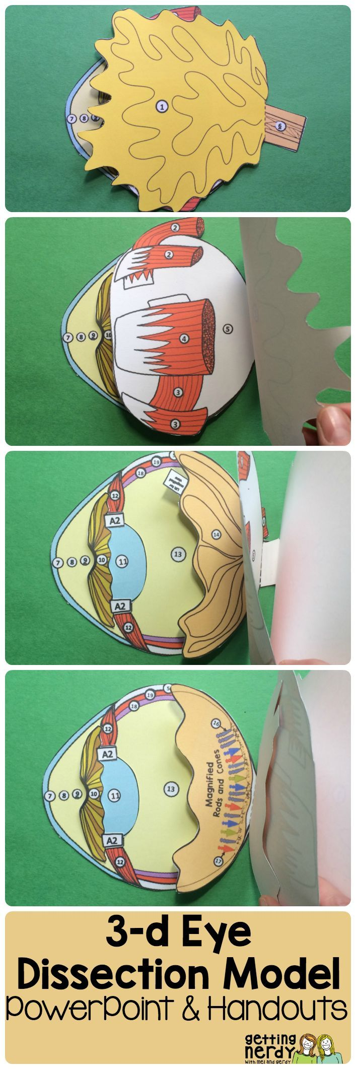 Eye Paper Dissection Scienstructable 3d Dissection Model