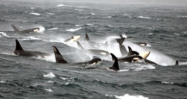 Southern Resident orcas pass through Monterey Bay during winter.