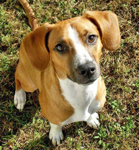 Ommmmmmggggggg So Cuuuute Cute Attack Beagle Mix
