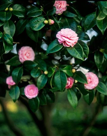 Captivating Camellias Flowers Plants Jade Plants