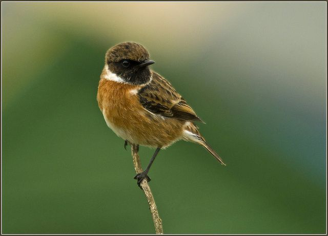 Stonechat by dcweather, via Flickr