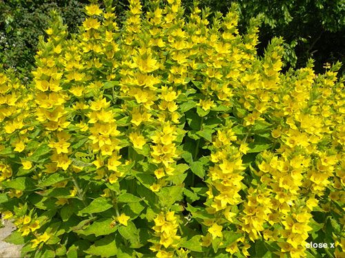 Tall perennial with yellow flowers lysimachia punctata water tall perennial with yellow flowers lysimachia punctata water plants for sale waterlilly iris ligularia rodgersia hosta mightylinksfo