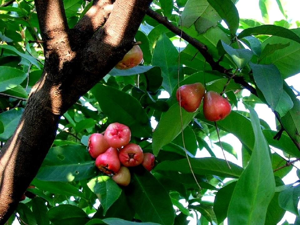 Pin By Bhagavati On Tropical Fruits Vegetables Fruit Plants Apple Plant Plants
