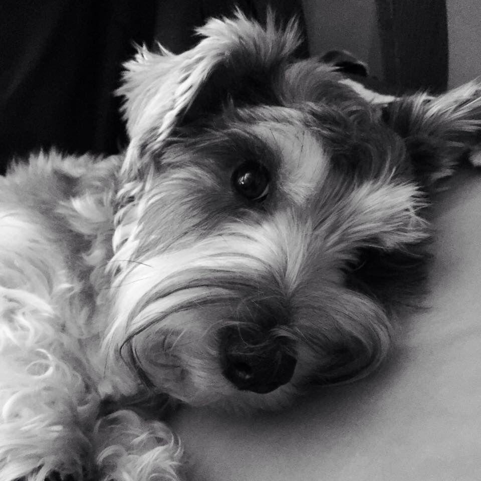 Bayleighue love in black and white miniature schnauzer