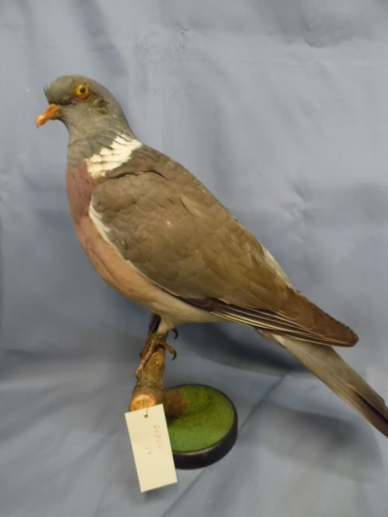 Taxidermy Hunting Chasse Präparat Common Wood Pigeon | eBay | Find