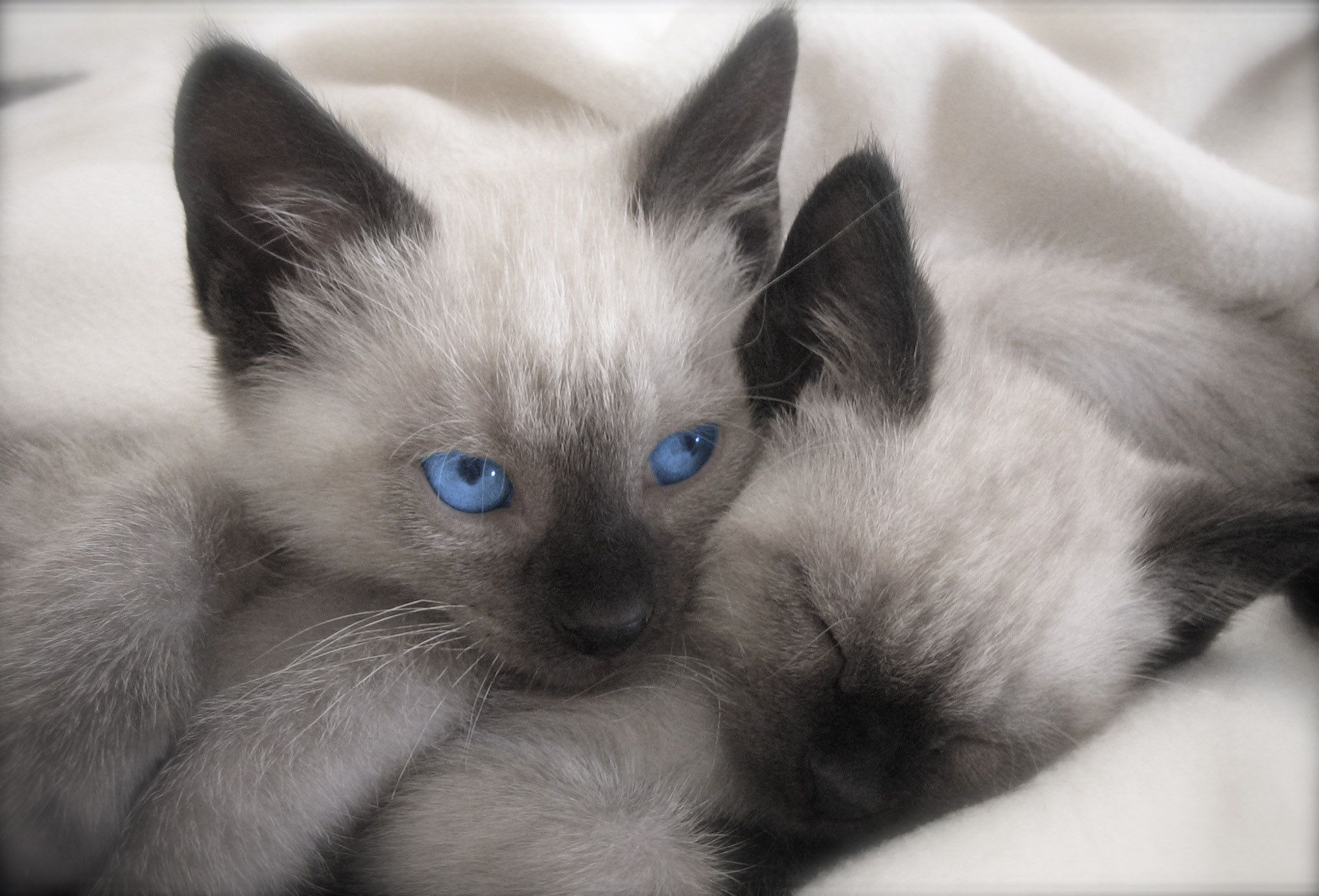 HD My Two Siamese Kittens Wallpaper Download Free
