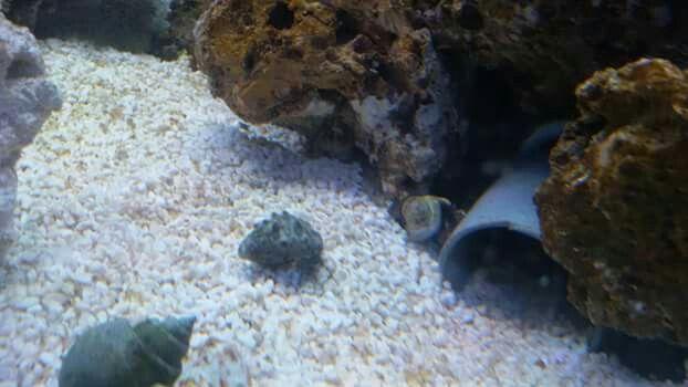 Putzcrew ist eingezogen 10 Einsiedlerkrebse 2Garnelen 1Doktorfisch