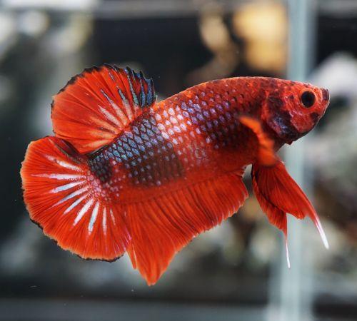 Pin By Marianne Sans On Beautiful Betta Fish Betta Betta Fish Tropical Fish Tanks