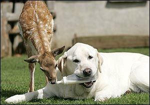 Sam feeds orphaned fawn Bluebell at a wildlife sanctuary near Stansted in Essex, England