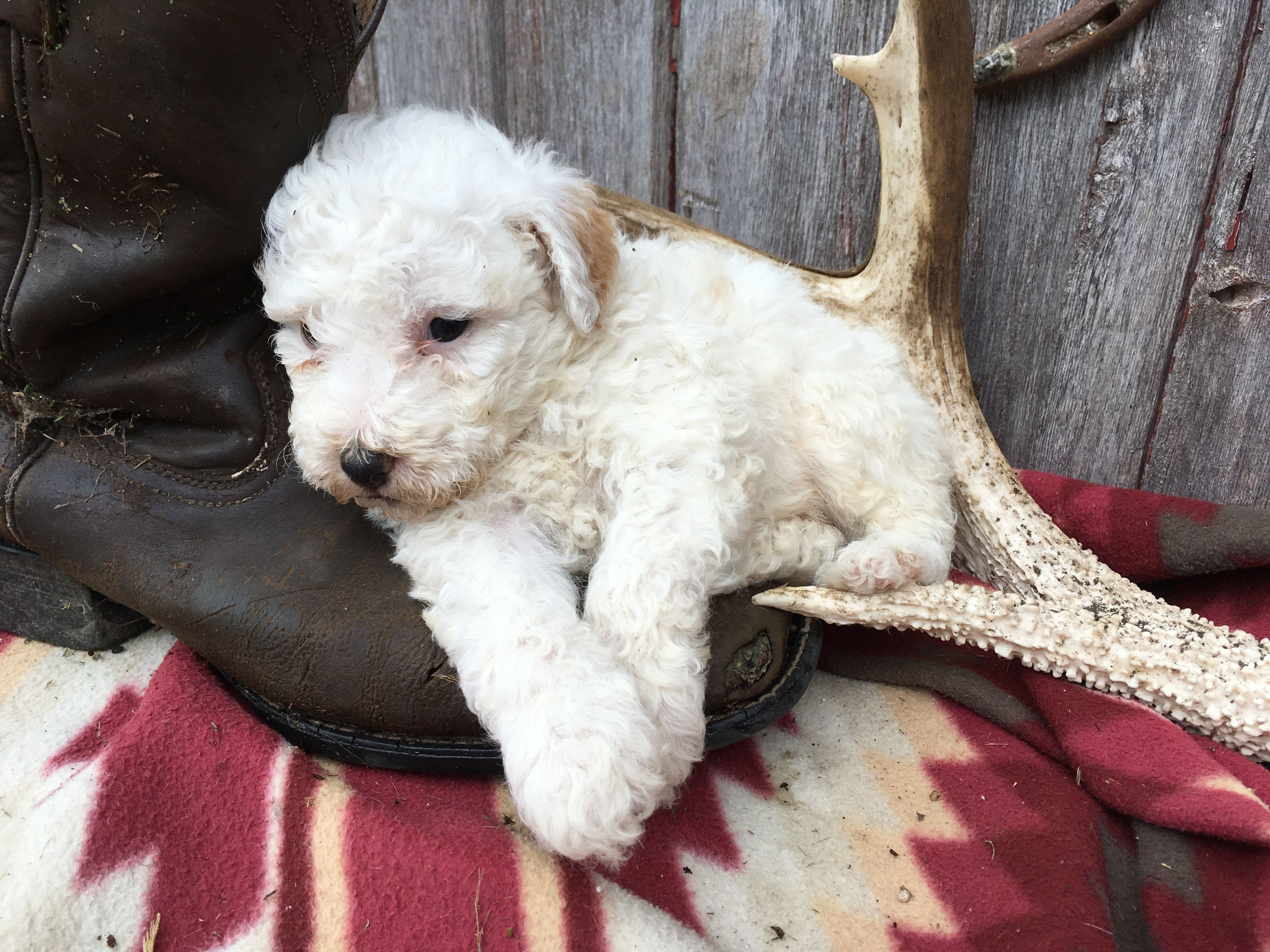 Breed Sheepadoodle Gender Male Personality Curious Date