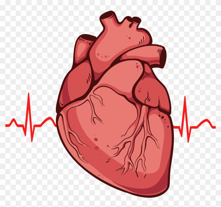 Download And Share Clipart About Human Heart Clipart Png Real Heart Drawing Find More High Quality Free Transp Human Heart Drawing Heart Drawing Human Heart