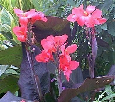 Canna lily, 'Dawn Pink'