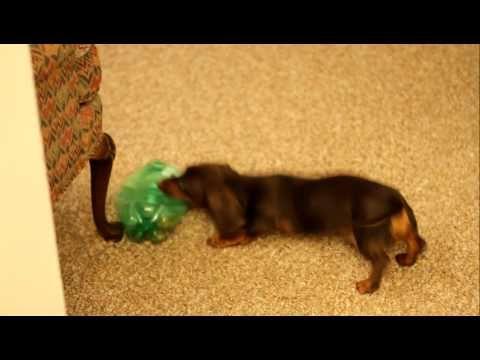 Puppy Playing Puppy Play Play Dachshund