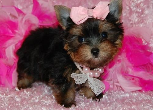 Beautiful Babies Yorkie Puppies Now Ready For Sale Yorkie Puppy Baby Yorkie Cute Baby Animals