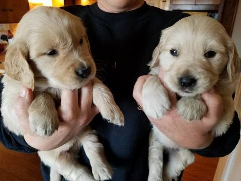 Litter Of 9 Golden Retriever Puppies For Sale In Trivoli Il Adn