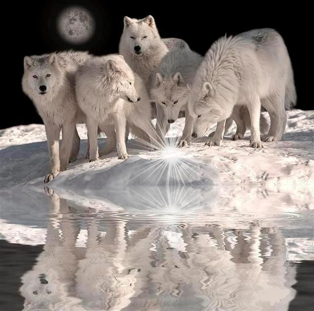 ♣ Loups blancs. White wolves.