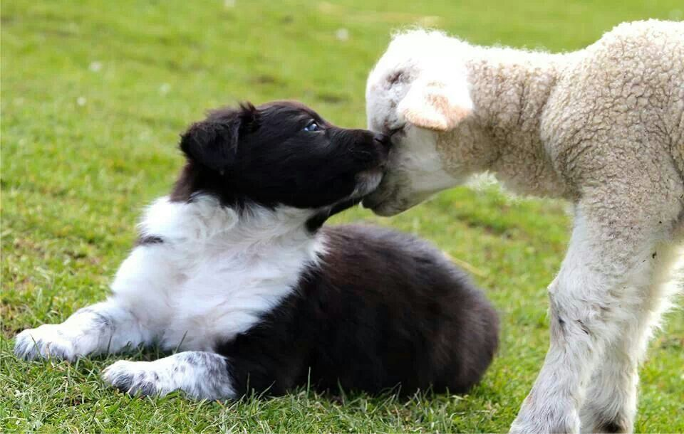 Border Collie Puppy Nuzzles A Lamb At The Seven Sisters Sheep