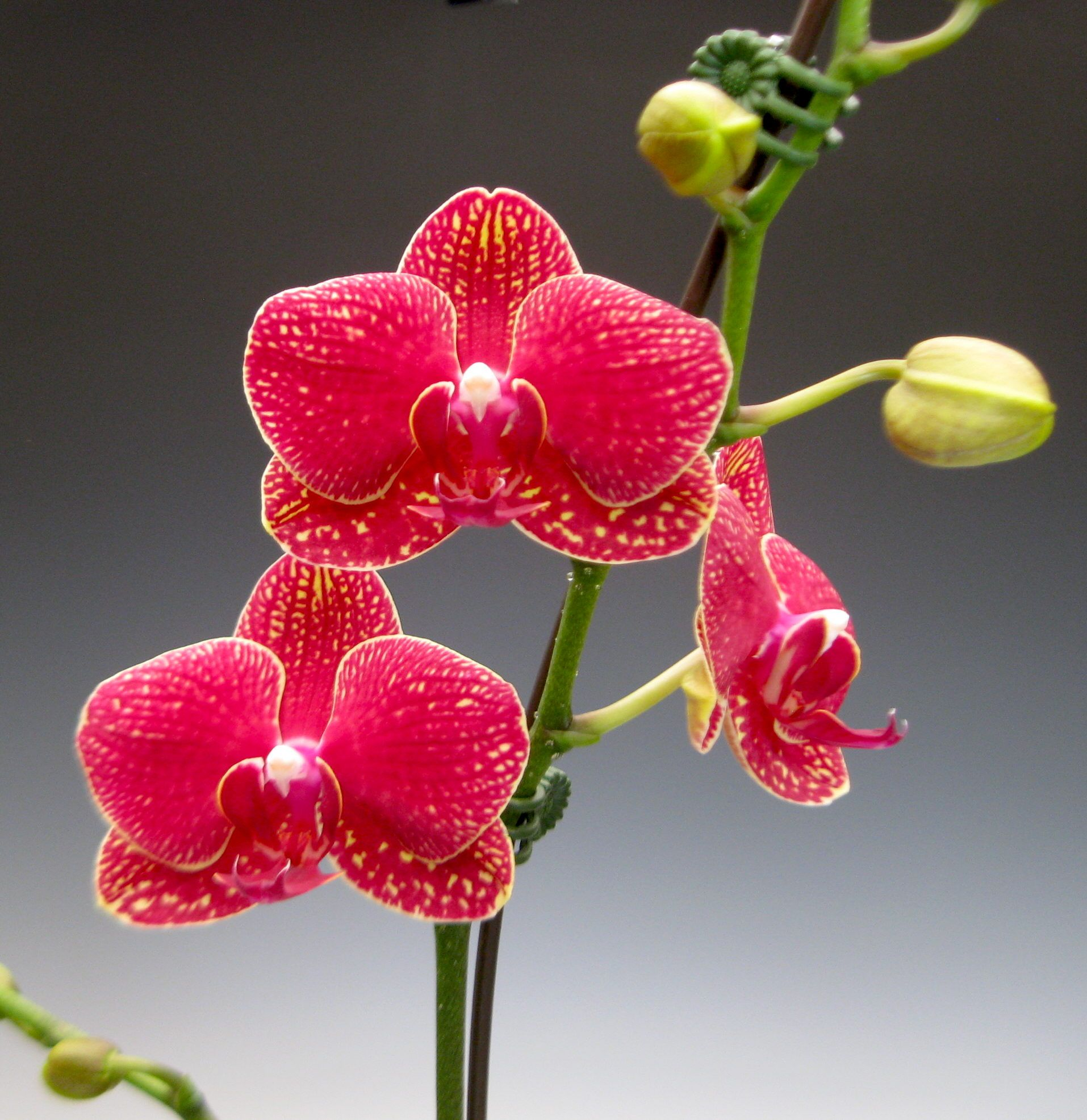 Red Orchid: description, photo, features of care 41