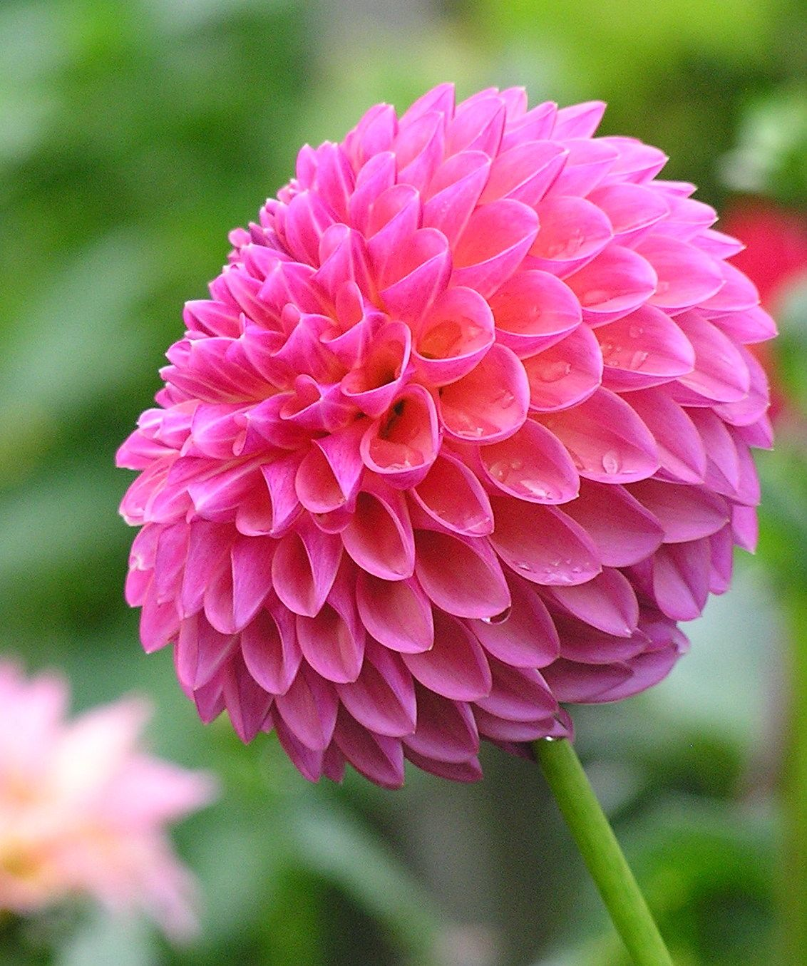 Abbey 4 5 Blooms Have 2 Extra Full Sun Flowers Dahlia Plants