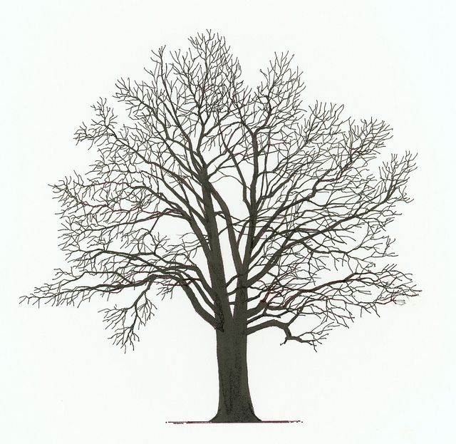 N Red Oak Bare Tree By Kuhlman And More Nature Illustrations