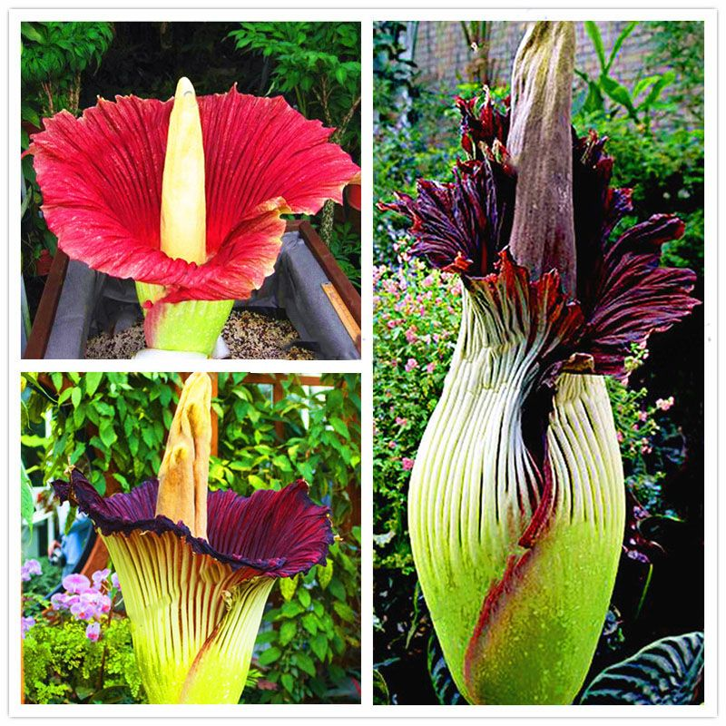 Egrow 10pcs Pack Corpse Flower Seeds Beautiful Flower Of Indonesia The World S Largest Flower Flower Seeds Corpse Flower Beautiful Flowers
