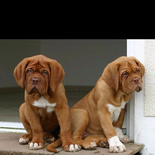 Sweet Dogue de Bordeaux puppies :)