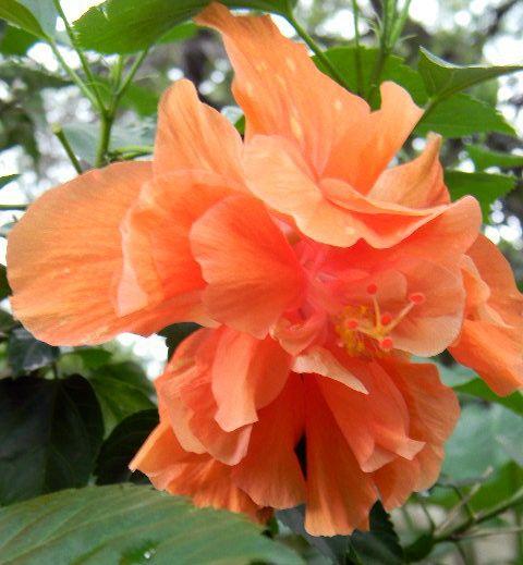 Hibiscus | ... of Tropical Hibiscus 'Double Orange ... |Triple Hibiscus