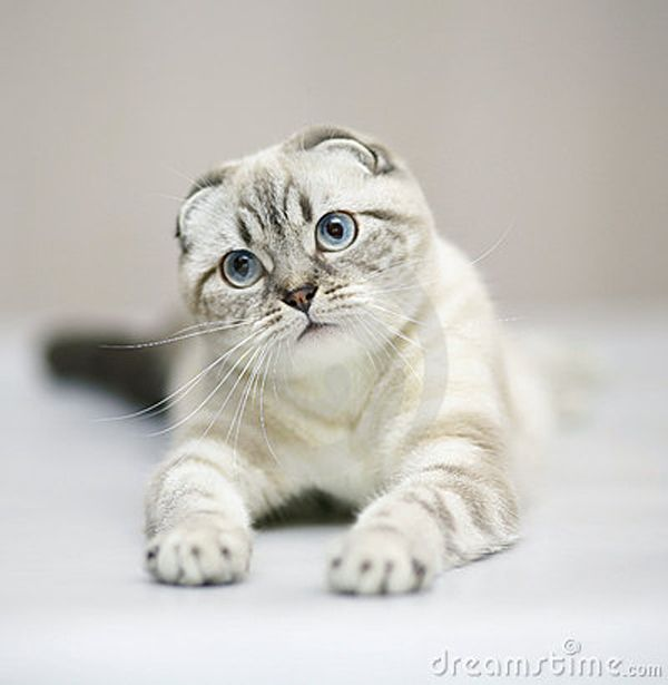 18 Delightfully Expressive Scottish Fold Cats | Cats & Dogs