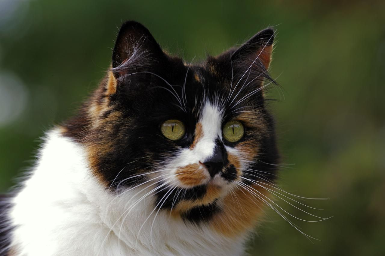 Sassy And Spunky All About Calico Cats  Cat Profile -9832