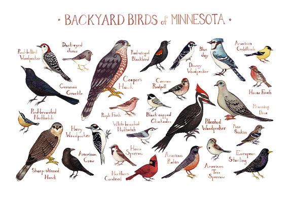 Minnesota Backyard Birds Field Guide Art Print Watercolor Painting Print Birdwatching Wall Art Nature Print Bird Poster Backyard Birds Bird Poster Field Guide
