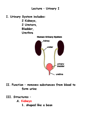 Free Lecture Notes Urinary System From Kemper Anatomy Labs On
