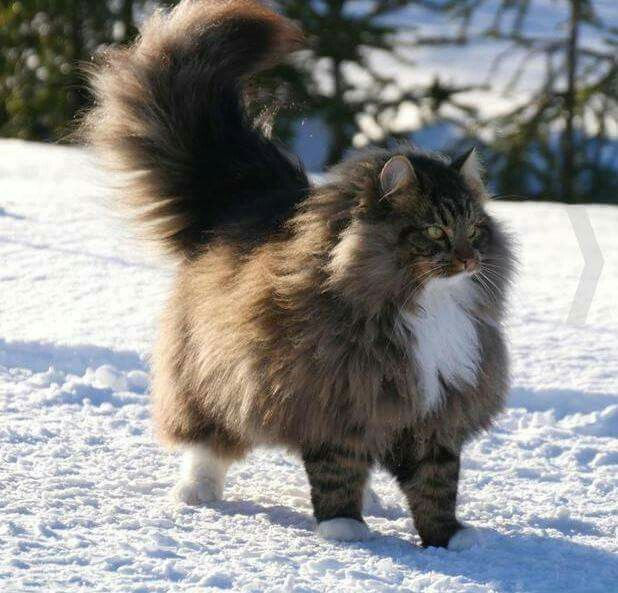 Pin By Heidi Stortroen On Amori Norwegian Forest Cat Majestic Animals Forest Cat