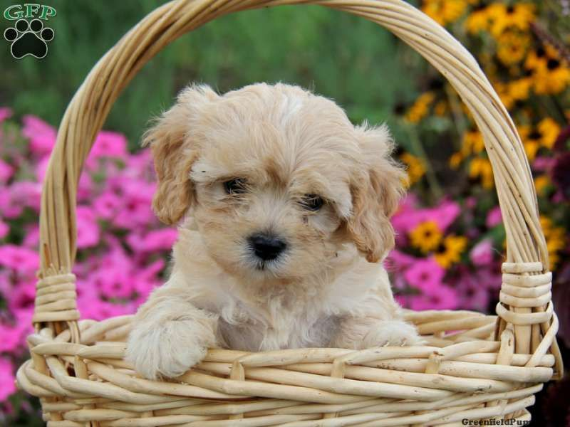 Tally Cavapoo Puppy For Sale In Honey Brook Pa Cavapoo Puppies Cavapoo Puppies For Sale