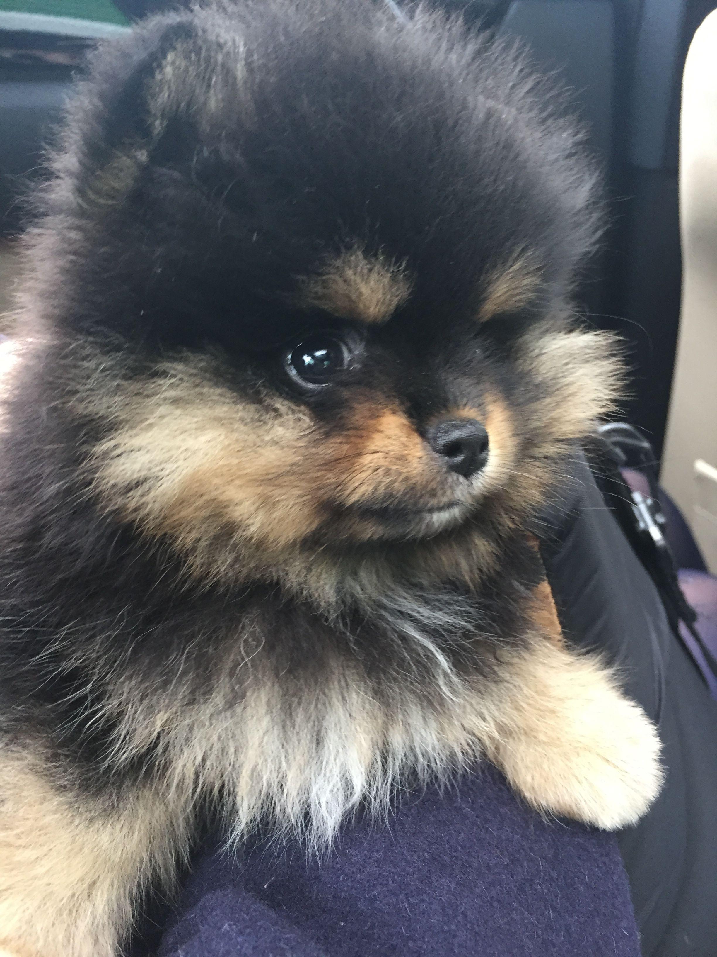 Black And Tan Puppy Pomeranian Puppy Cute Pomeranian Cute Puppies