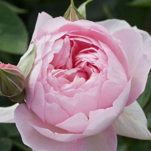 Gentle Hermione - English Rose