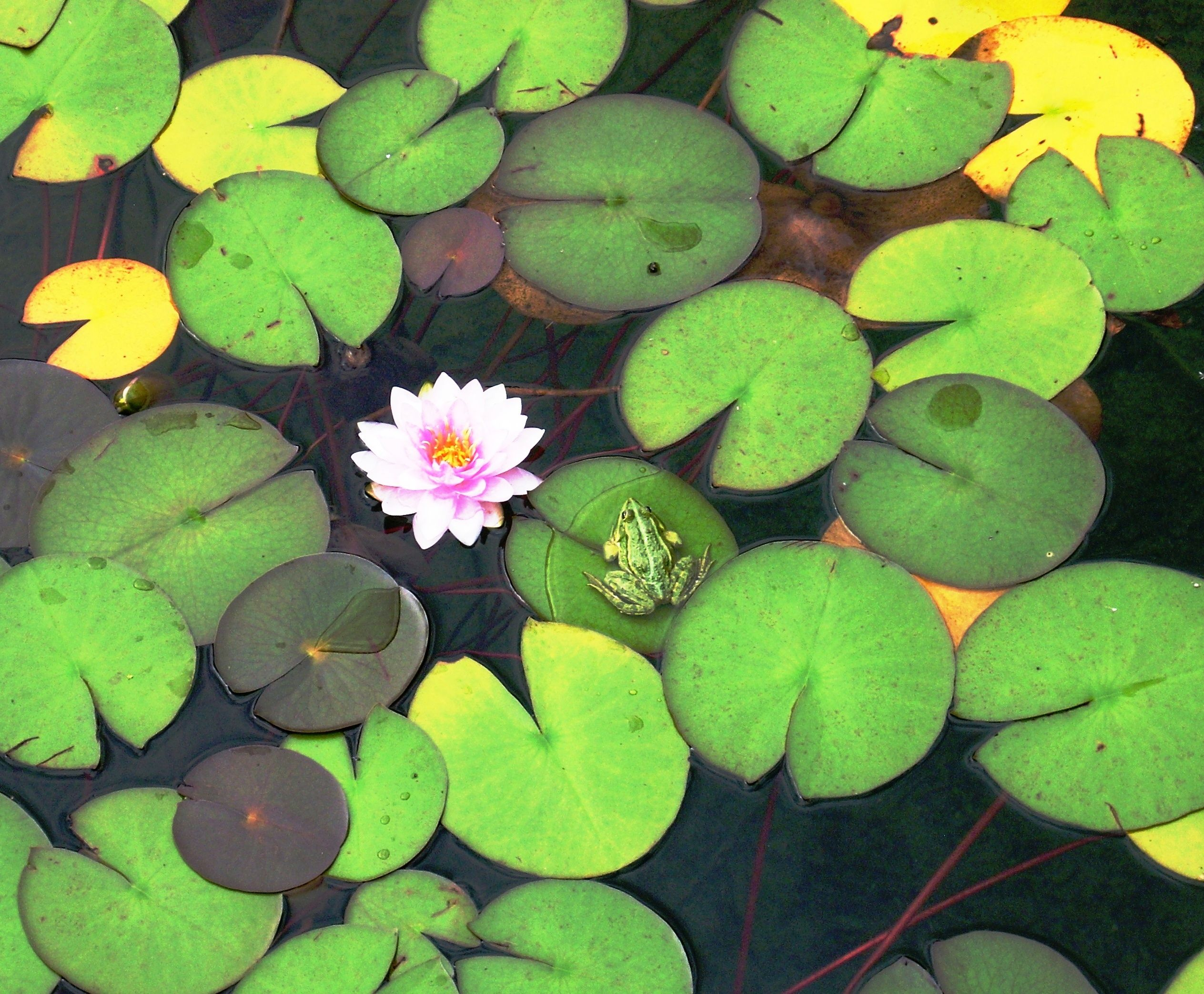 Frosch auf Seerose / frog on lily