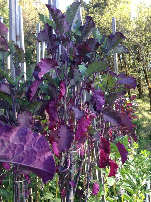 Tree Collards Cuttings Starts Heirloom Untreated Sustainable Vegetable Seeds Bountiful Gardens