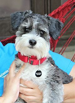 Schnauzer Miniature Poodle Miniature Mix Dog For Adoption In Munster Indiana Prince Poodle Mix Dogs Schnauzer Schnoodle