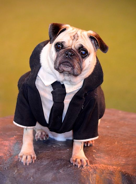 Pug As Frank From Men In Black Pugs Frank The Pug Pug Love