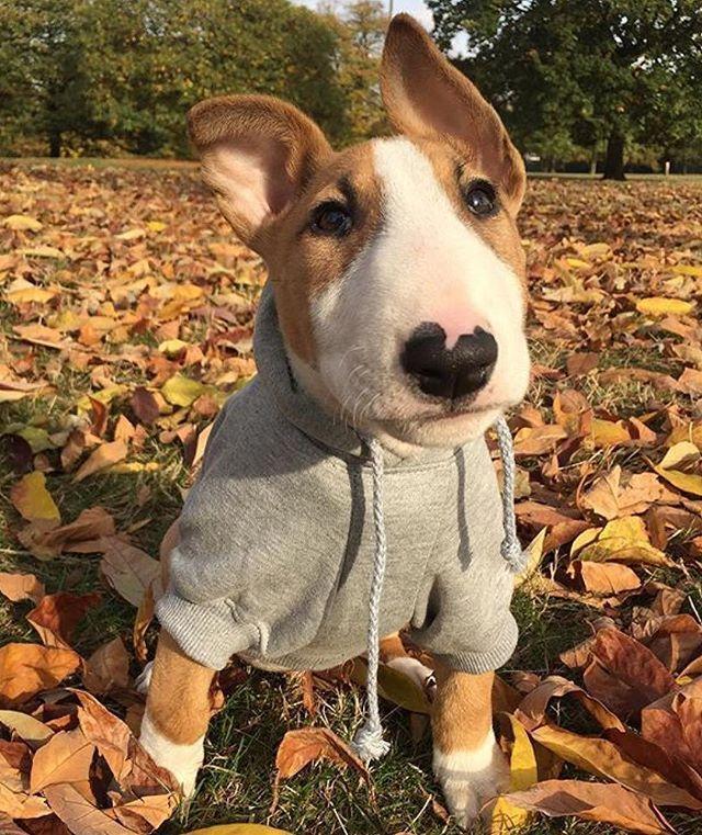 Bull Terrier Bull Terrier Bull Terrier Puppy Bull Terrier Dog