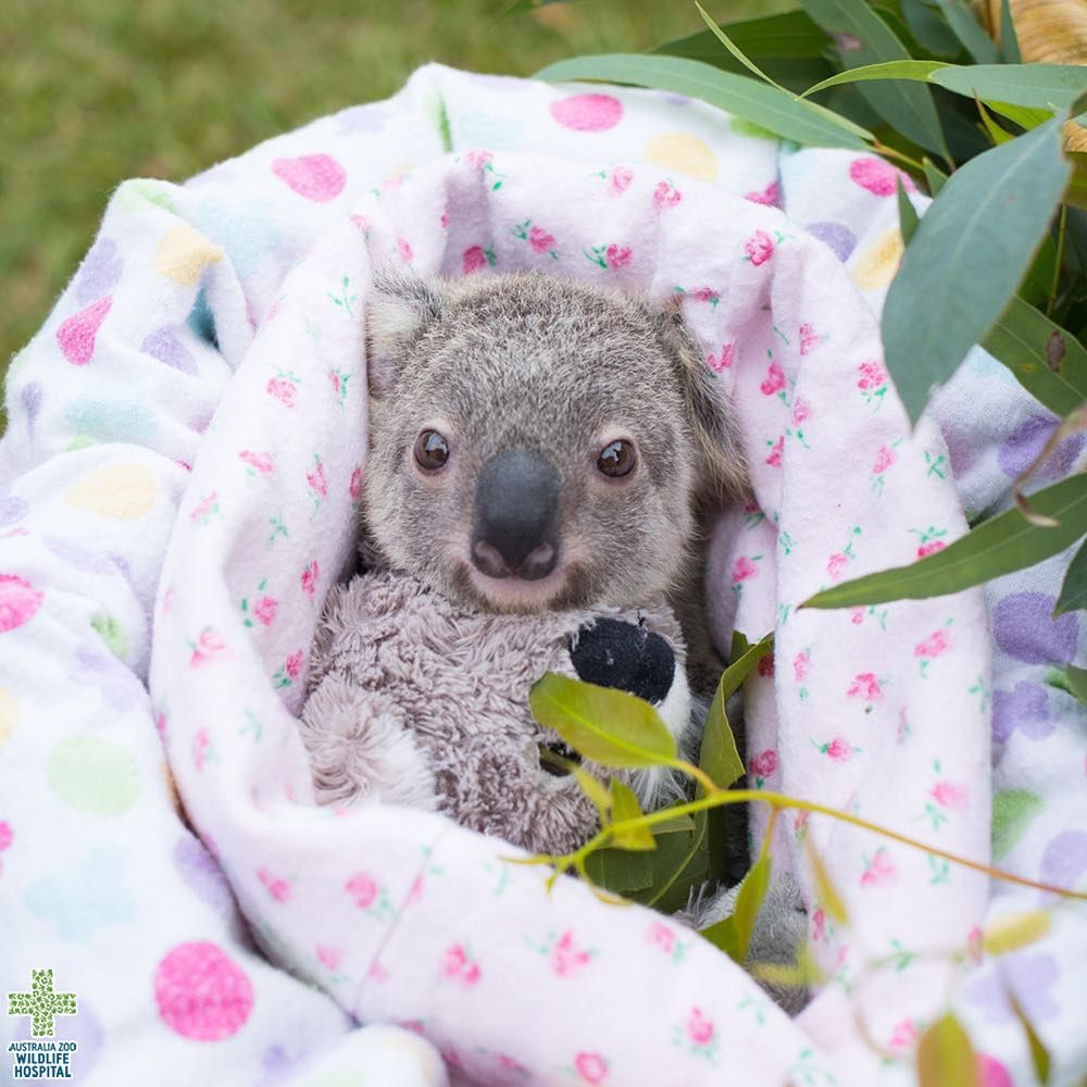 Six months ago, Hermione the koala joey and her mother